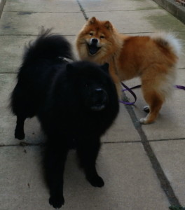Smiling Chows